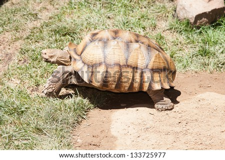 Desert tortoises are species of tortoise native to the Mojave desert and Sonoran desert of the southwestern United States - stock photo