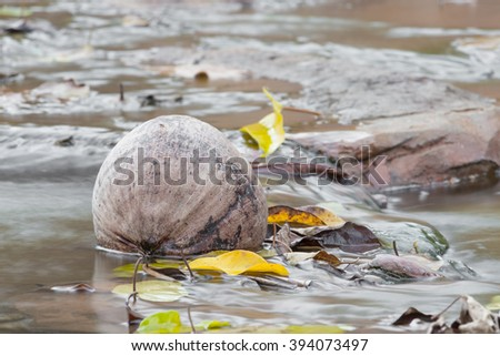 desiccated coconut in brook, coconut dry drop  tree waiting for people pick up to cook ,Blur blurred brook (select focus coconut ) - stock photo
