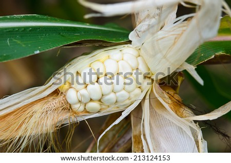 destroyed drought of corn are Diseases and insect pests   - stock photo