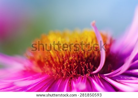Detail blurred with shallow depth of field pink aster flower close-up. Selective focus. - stock photo