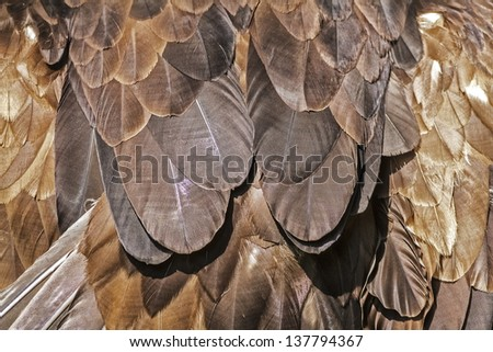 detail feathers of golden eagle - stock photo