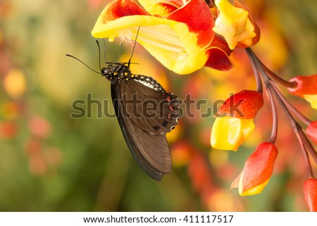 detail od brown swallowtail butterfly sitting on colorful yellow and orange orchid in tropical forest - stock photo