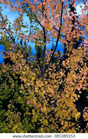 Detail of a birch at denali highway, Alaska, USA - stock photo