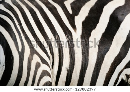 Detail of a black and white stripes on a zebra skin - stock photo