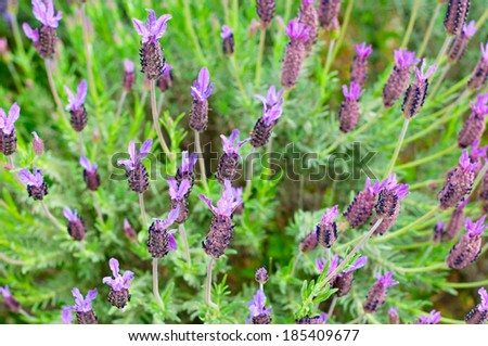 Detail of a field of Lavandula stoechas - stock photo