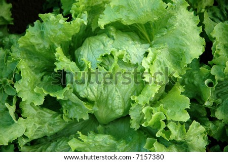 detail of a fresh lettuce - stock photo