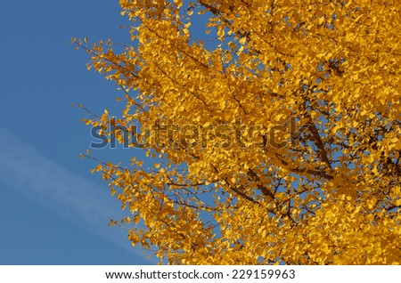 Detail of a ginkgo tree with colorful autumnal leaves. - stock photo
