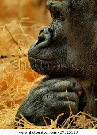 Detail of a gorillas face - stock photo