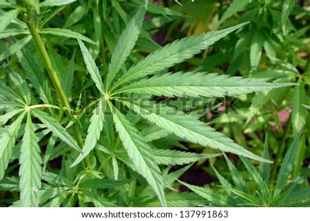 detail of a hemp field grown for fibres - stock photo