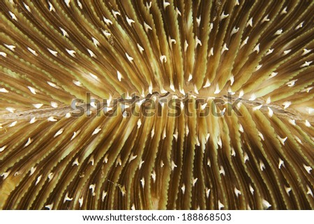 Detail of a mushroom coral (Fungia sp.) growing on a coral reef - stock photo