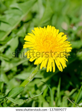 Detail of a naturally growing dandelion plant.  - stock photo