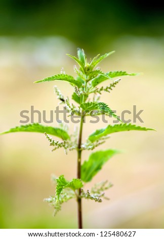 Detail of a stinging nettle plant. - stock photo