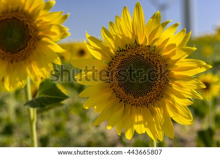 Detail of a sunflower in a crop field, with windmills at background - stock photo