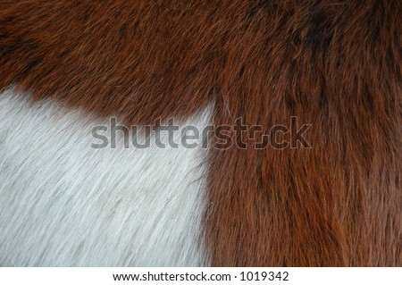 Detail of a two-coloured horse - stock photo