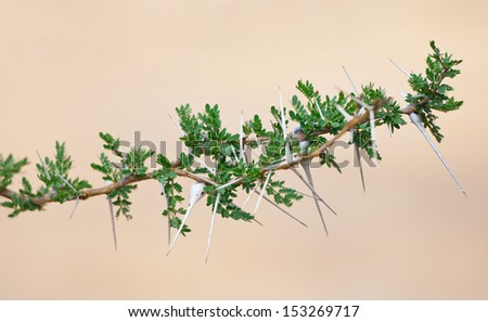 detail of a whistling acacia branch - national park selous game reserve in tanzania east africa - stock photo