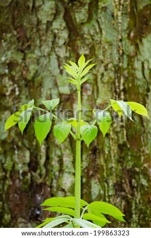 Detail of a young elder plant growing in the forest in front of a fir tree trunk.  - stock photo