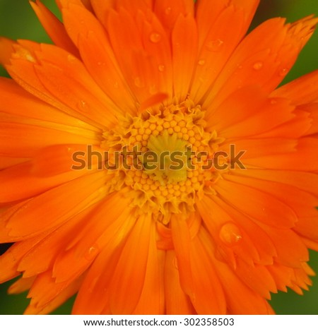 Detail of blooming garden marigold (Calendula officinalis) plant.  - stock photo