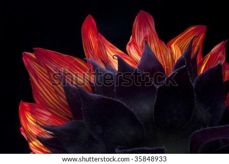 Detail of bright orange sunflower back lit on black - stock photo
