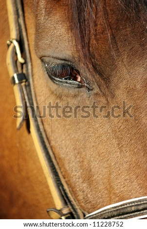 Detail of brown horse head with long eye-lashes - stock photo