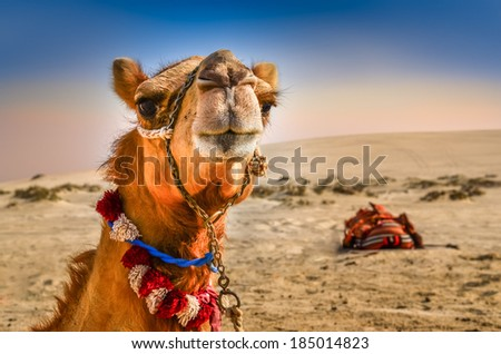 Detail of camel's head in the desert with funny expression - stock photo