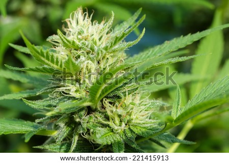 Detail of Cannabis resin covering the flowerheads - stock photo