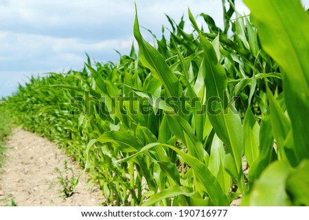 detail of corn plants on the agriculture field - stock photo
