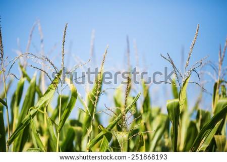 Detail of cornfield plantation. - stock photo