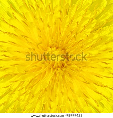 detail of dandelion flower - stock photo