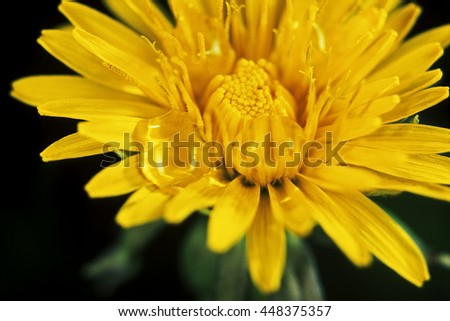 Detail of dandelion flower decorated with droplets of morning dew. Fresh yellow flower in the spring season on the dark background. - stock photo