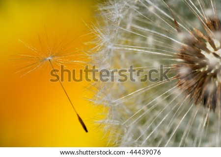 Detail of dandelion seed leaving the - stock photo