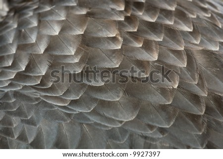 detail of eagle's feathers texture - stock photo