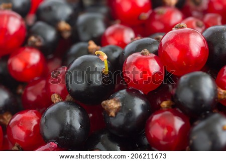 Detail of freshly picked red and black currants. - stock photo