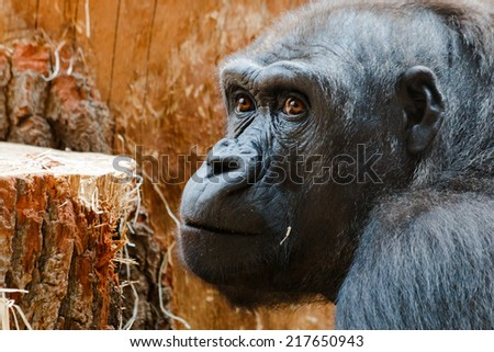Detail of gorilla head with brown eyes - stock photo