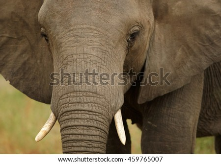 Detail of head of juvenile African Bush Elephant,Loxodonta africana. South Africa, Timbavati game reserve - stock photo