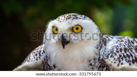 Detail of Head of Snowy Owl with Yellow Eyes - Bubo Scandiacus with Blurred Dark Green Background Ready to Fly - stock photo