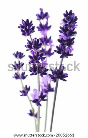 Detail of lavender flower - stock photo