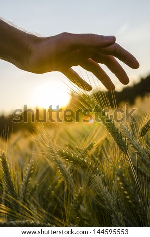 Detail of male hand stroking wheat field. - stock photo
