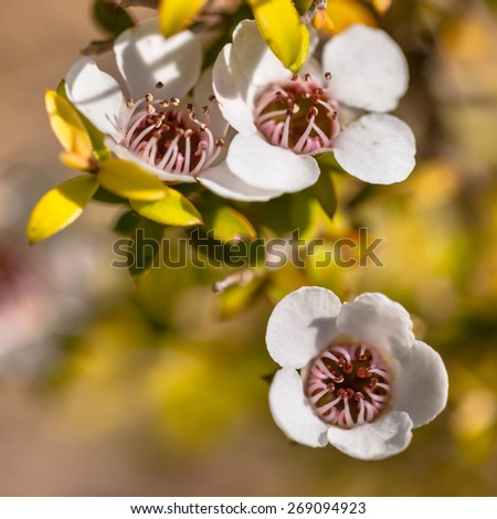 Detail of Manuka tea tree flower and seed boxes - stock photo