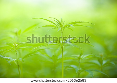 Detail of marijuana plant on field, low depth of focus - stock photo