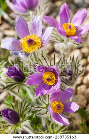 Detail of  pasque flower (Pulsatilla) in stone garden - stock photo