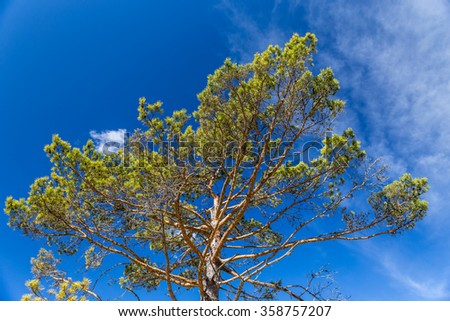 Detail Of Pine Tree Crown With Blue Sky In The Background-Slovenia,Europe - stock photo