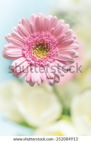 detail of pink Gerber Daisy - stock photo