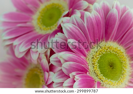 detail of pink gerber flower - stock photo