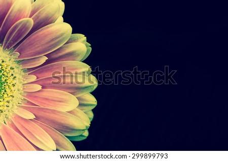 detail of pink gerber flower against black background - stock photo