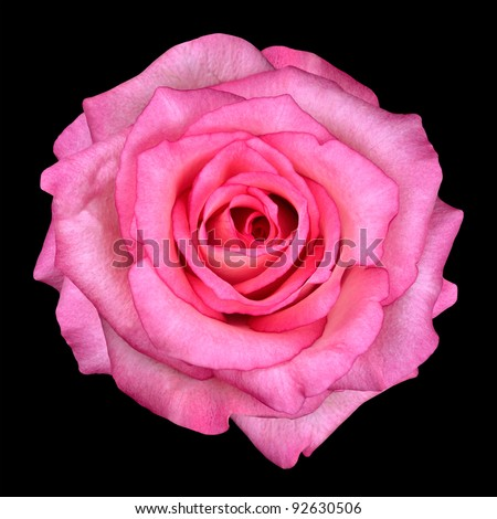 Detail of Pink Rose Isolated on Black Background - stock photo