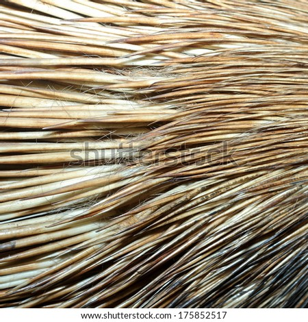 detail of real  crested porcupine fur ( hystyrix cristata ) - stock photo