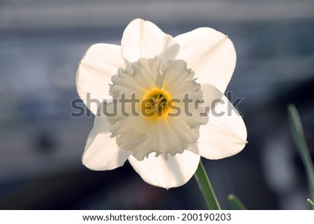 Detail of single daffodil - narcissus flower head - stock photo