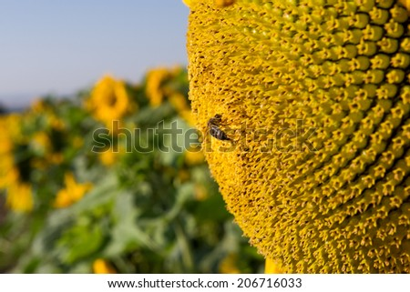 detail of sunflower with bee - stock photo