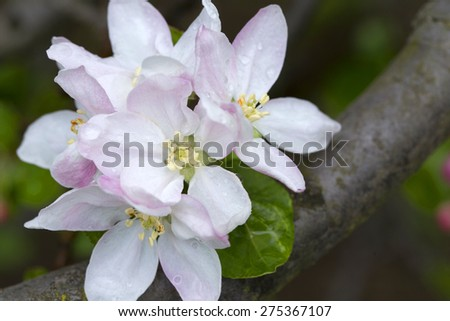 Detail of the Apple Tree Flower - stock photo