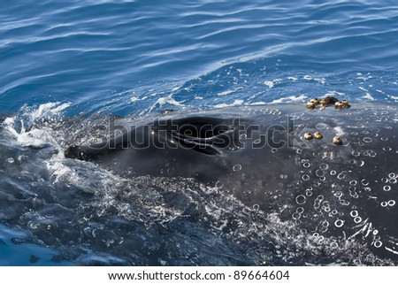 Detail of the blowholes of a humpback whale. The photo was taken near Fraser Island in Australia. - stock photo
